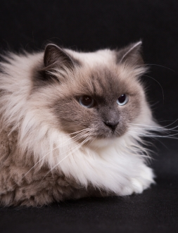 Beautiful Neva Masquerade cat portrait. Adult purebred siberian cat.